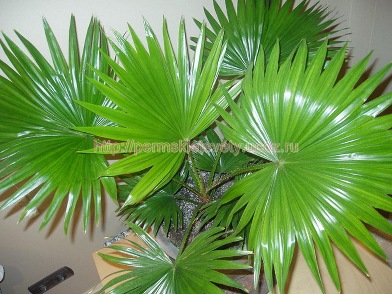 Комнатные пальмы фото и названия